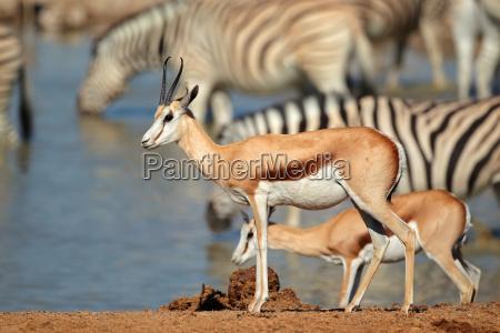 springbok und zebras am wasserloch