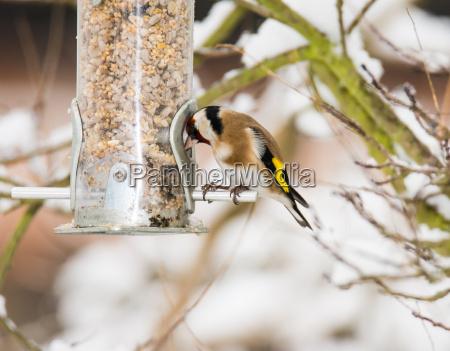 europaeischer goldfink bei einem vogelfutter