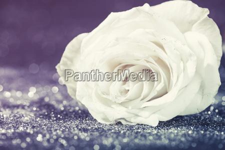 white rose on sparkling glitter background