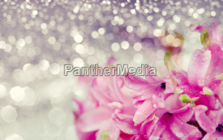 pink hyacinth on abstract background