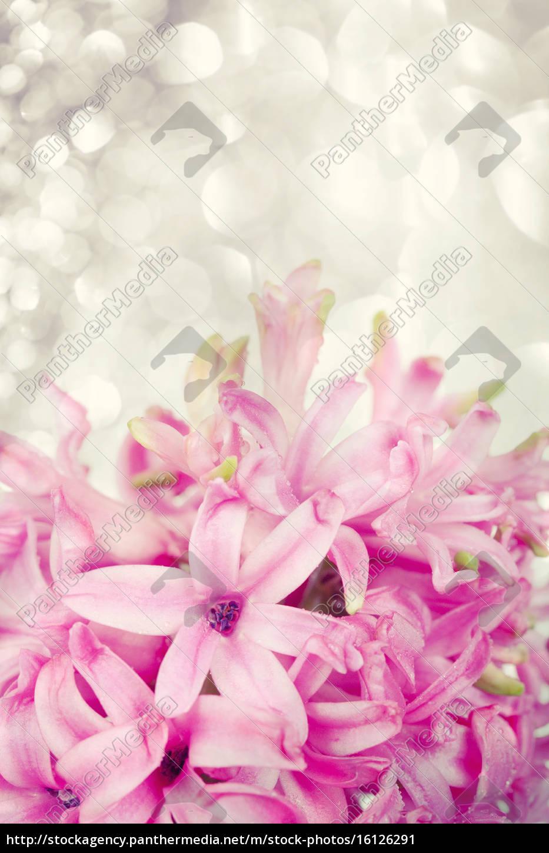 rosa, hyazinthe, auf, abstrakten, hintergrund - 16126291