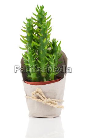 austrocylindropuntia ist eine pflanzengattung aus der