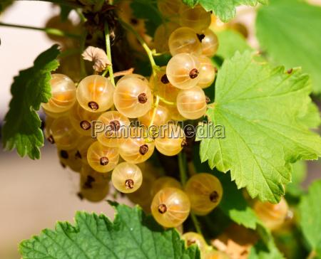 ripe white currants in the garden