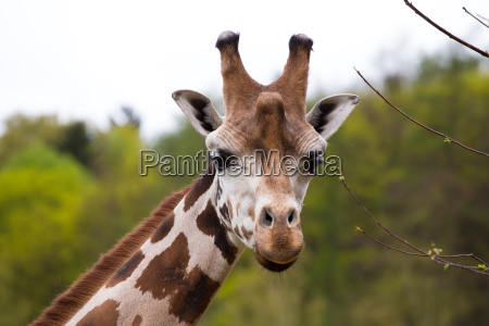 nahaufnahme giraffe portraet
