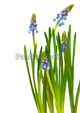bellflower grape hyacinth muscari armeniacum