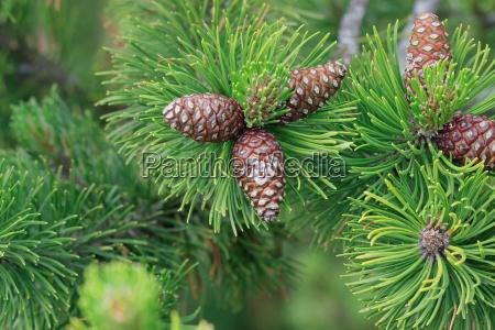 kiefer zweig mit zapfen pinaceae