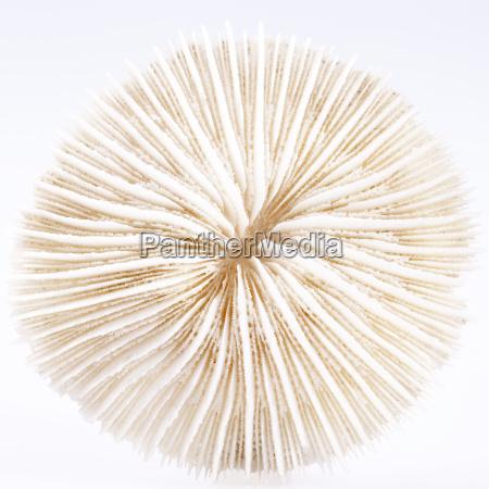 muschel von fungia isoliert auf weissem