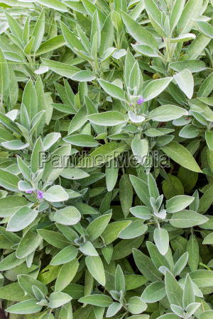 sage plant with violet flowers