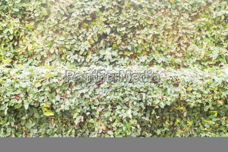 gruener efeu pflanze wandhintergrund mit vintage