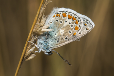common blue bluebell polaommatus icarus