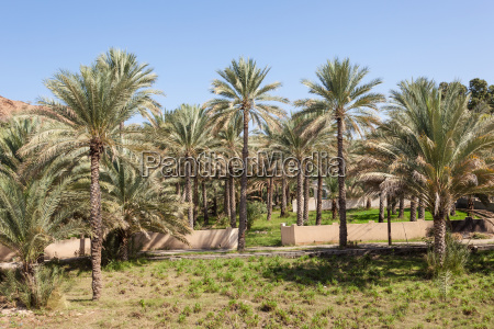 palm trees in an oasis oman