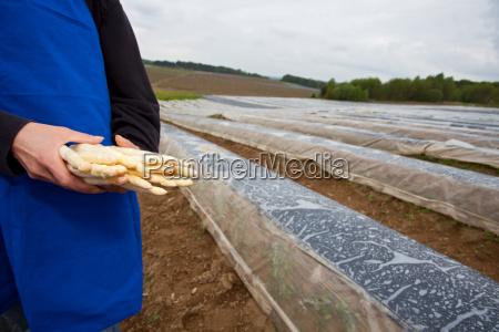 landwirt haelt frischen spargel