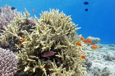 korallenriff mit hartkorallen und fischen athias