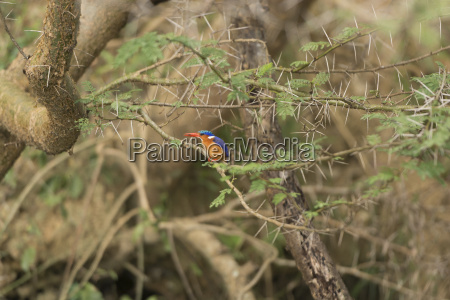 vogel eisvogel uganda