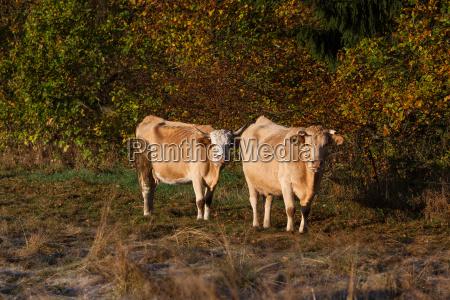 agriculture animal husbandry field kuhherde