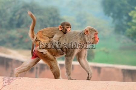 rhesus macaque affen