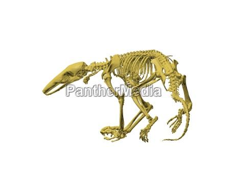 skelett ameisenbaer freigestellt
