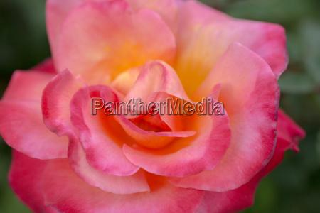 closeup nahaufnahme blume pflanze gewaechs rose
