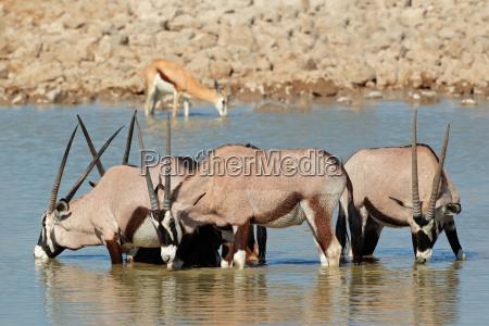 gemsbok antelopes drinking