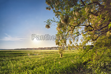 spring field with blooming acacia trees