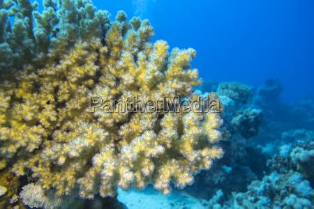 korallenriff mit grossen weichkorallen im tropischen