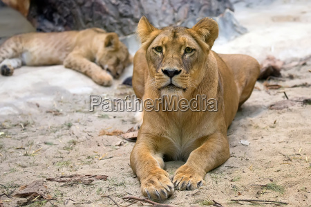 lioness in the wild