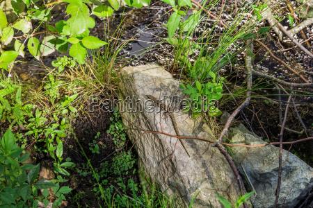 auf dem stein sonnende eidechse