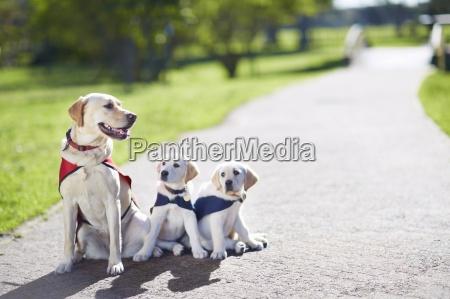 drei blindenhunde an hundetraining