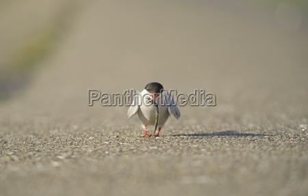 germany schleswig holstein tern sternidae with