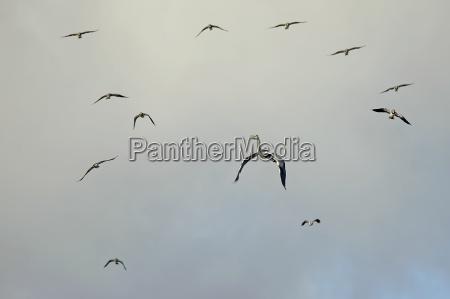 germany schleswig holstein flock of flying