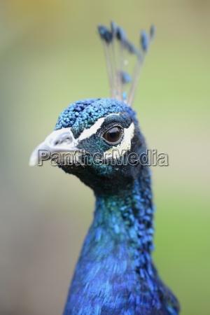 england peacock pavo portrait