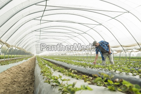 farmer looking at plants in a