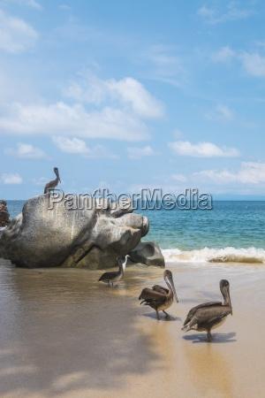 mexico banderas bay pelicans