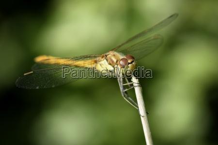 england common darter sympetrum striolatum