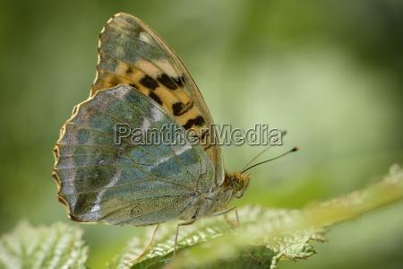 england silver washed fritillary argynnis paphia