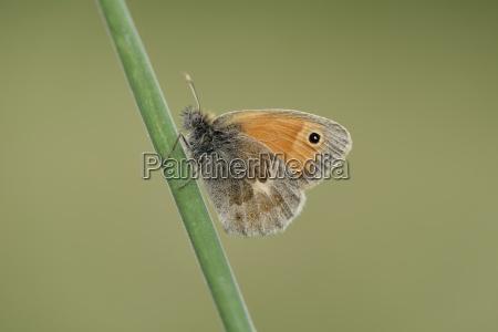 england small heath coenonympha pamphilus
