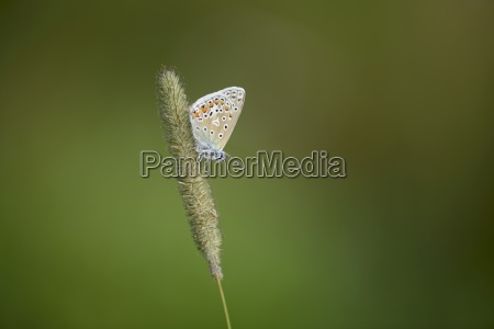 england common blue butterfly polyommatus icarus
