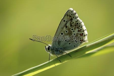 england chalkhill blue polyommatus coridon