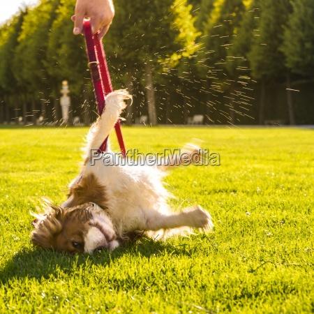 hund canis lupus familiaris waelzen auf