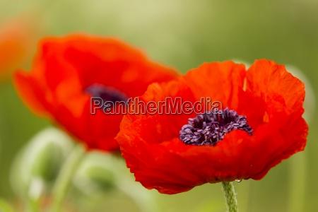 england oriental poppy papaver orientale