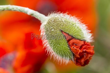 england oriental poppy papaver orientale blossom