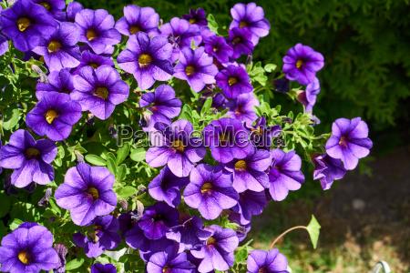 petunia floral splendor