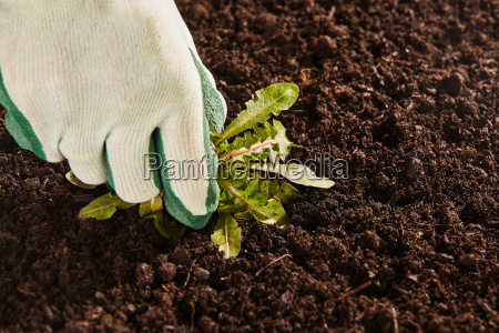 gardener hand pulling up broad leaf