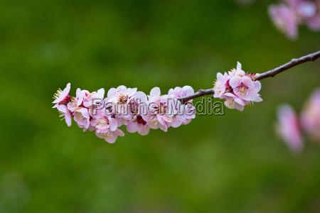 blossom aprikosenbaum fruehlingsansicht