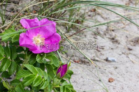 beach roses on the sandy beach
