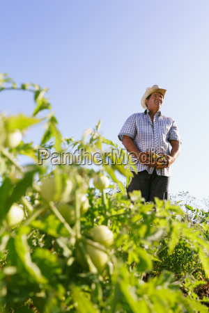 portrait mann landwirt ernte tomate feld