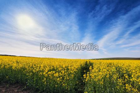 fruehling rapsfelder bluehende gelbe blumen