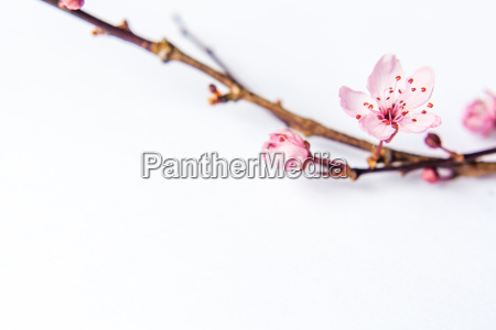 spring awakening symbol bloom isolated white