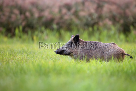 wild boar in the grass