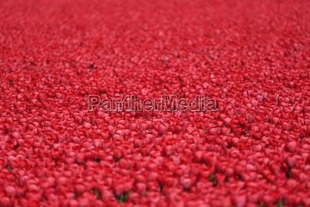 tulpen blumen rot im fruehling auf